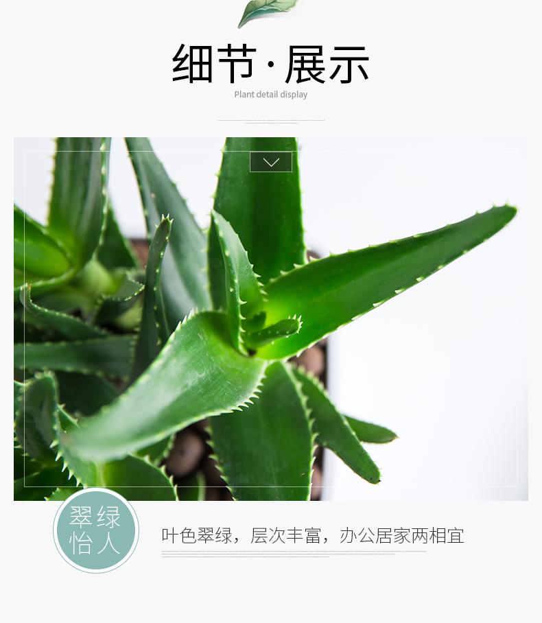 芦荟陶瓷盆加盆790_21.jpg