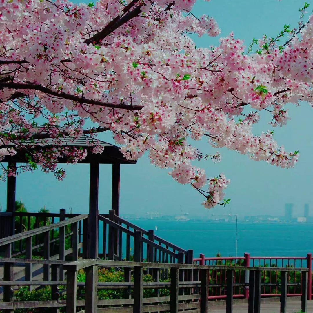 樱花恋这是他们的季节