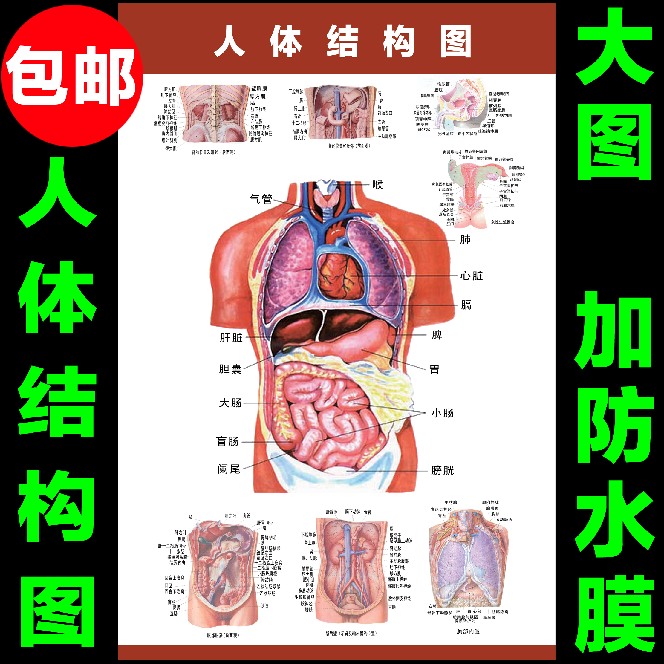 Usd 621 the human body internal organs anatomy system diagram the human body internal organs anatomy system diagram medical promotional wall chart human organs the ccuart Image collections