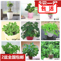 Desktop potted green planting mosquito repellent grass lemon mint touch incense drug Grass Hair