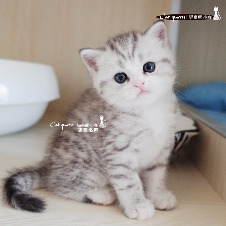 Cattery character house with white silver tabby Scottish Fold Erect network  Red Cat Cat purebred brother