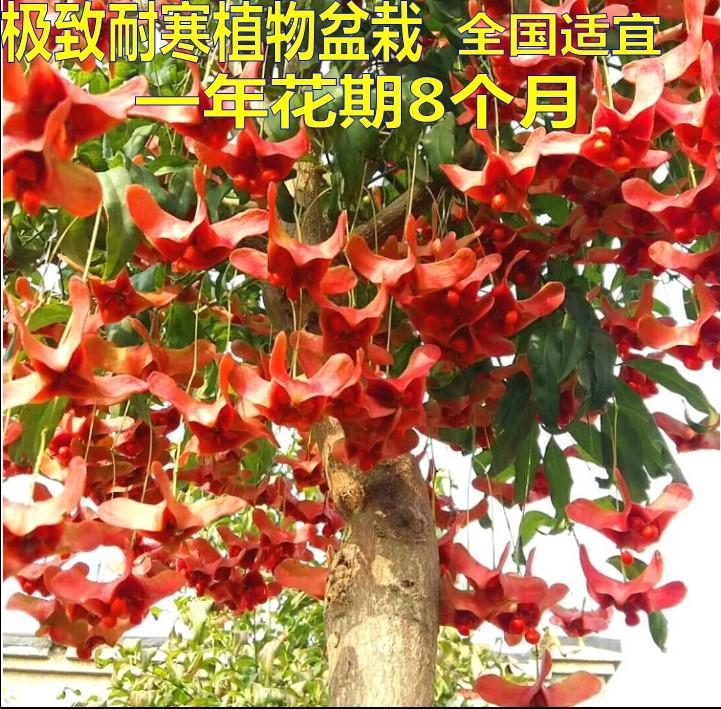 稀有珍贵花卉庭院植物金丝吊蝴蝶苗嫁接盆景栽种木本花卉接穗山西
