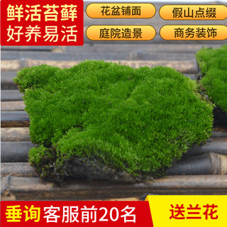 Moss micro-landscape diy water and land tank plants fresh moss bonsai rockery ecological bottle potted landscaping leucocephalus