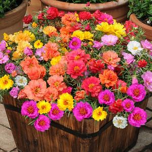 波斯菊花种子格桑花种籽子七彩四季开花易活花籽庭院野花组合种孑