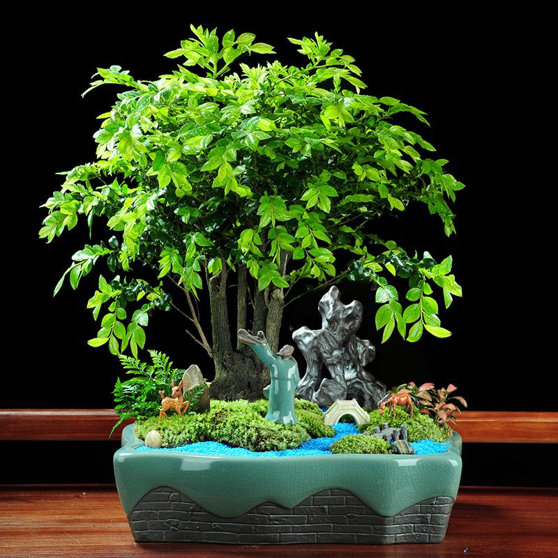 树苗紫檀盆景盆栽室内四季常青小叶花卉植物老桩老根木本绿植镇宅