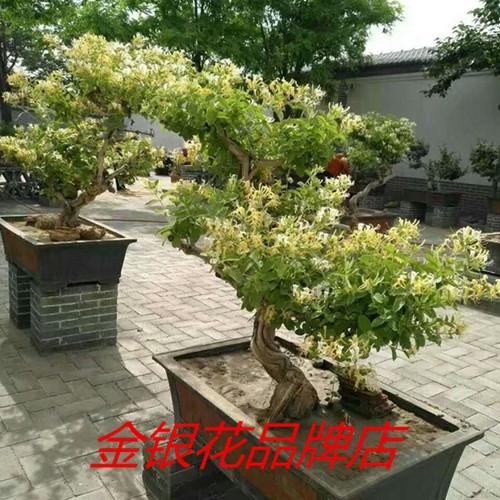 金银花树苗盆栽树桩老桩盆景黄白室内四季冬季花卉植物大型耐寒详细照片