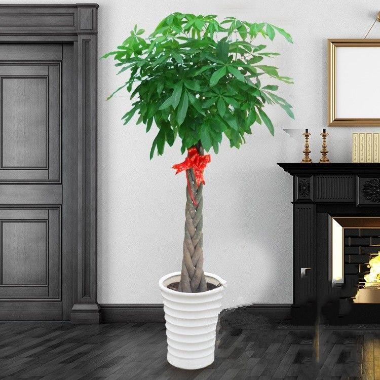 发财树室内外花卉盆景植物盆栽大招财树摇钱