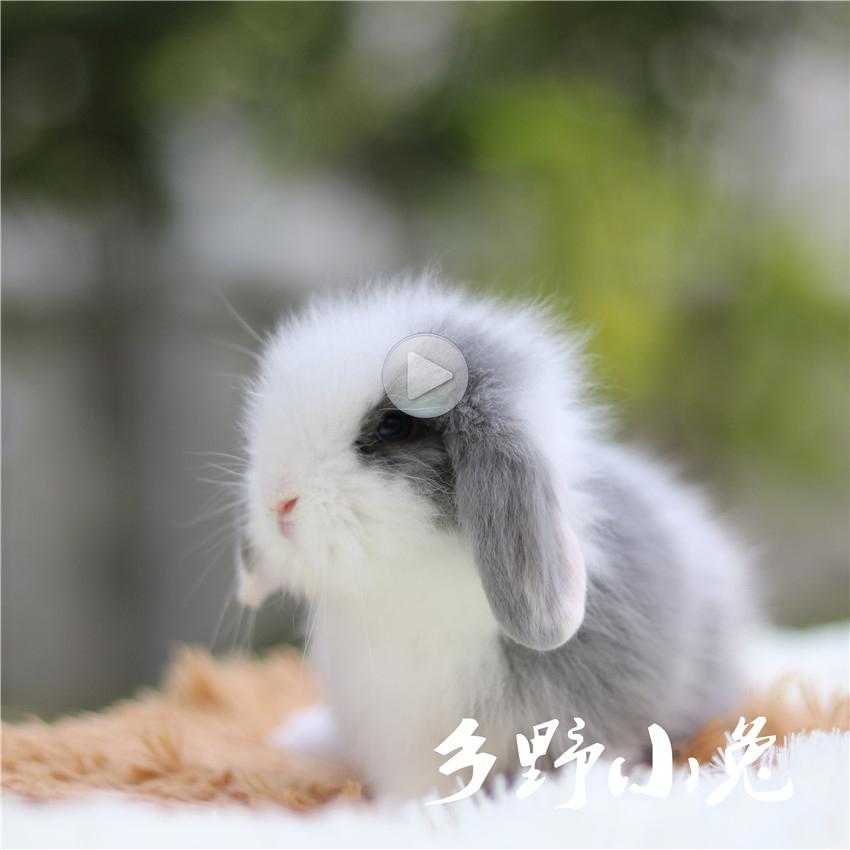 Image of: Cute Short Hair Lop Rabbit Long Hair Pet Rabbit Pure Rabbit Small Living Mini Long Dutch Rabbit Chinahaocom Usd 4743 Short Hair Lop Rabbit Long Hair Pet Rabbit Pure Rabbit