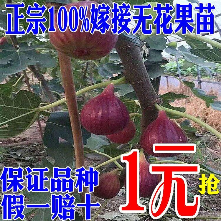 无花果水果红布地栽苗南方北方种植当年树苗波姬盆栽兰瑞克结果苗