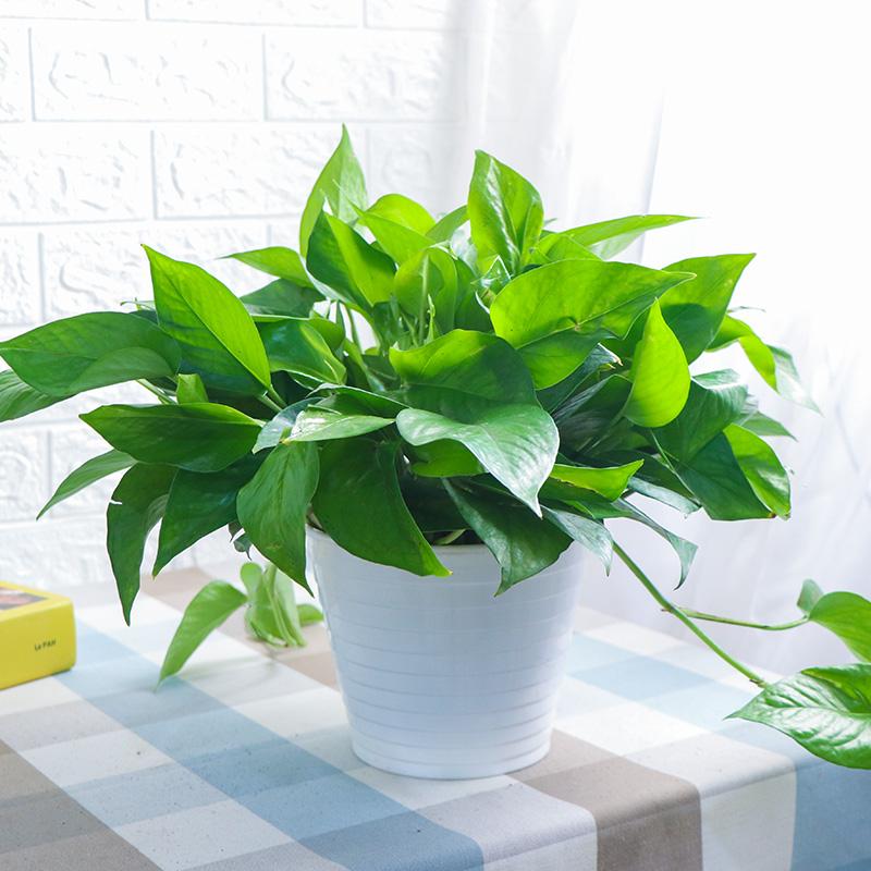 【4大盆】绿萝盆栽办公室植物带盆