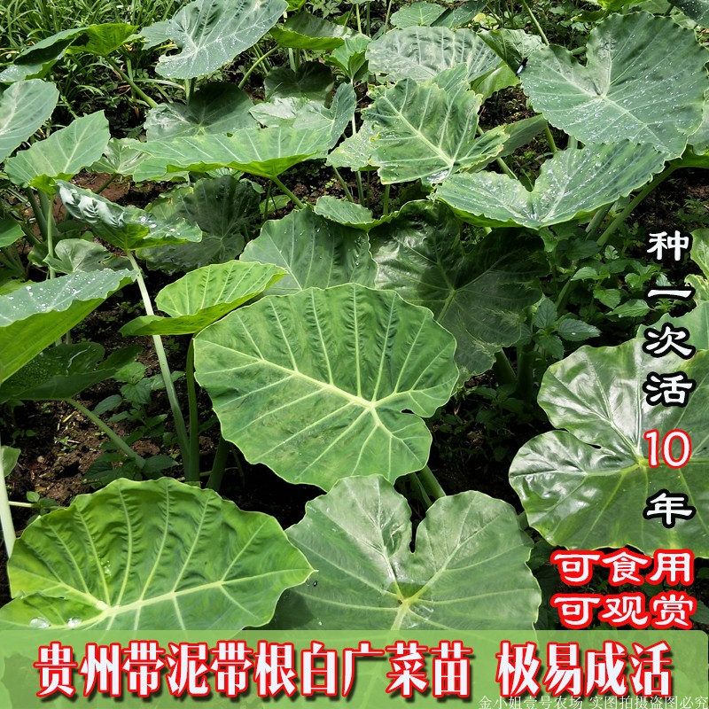 Bai Guang vegetable seedling Taro seedling big leaf farm planting fresh vegetables potted green plants are now picked and sent