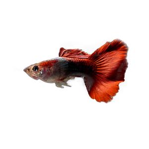 【秒杀】孔雀鱼孕母临产观赏鱼纯种