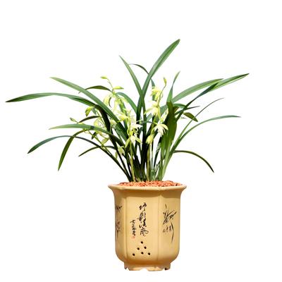 清雅兰花苗浓香建兰带花苞好养四季兰室内花卉名贵绿植盆栽