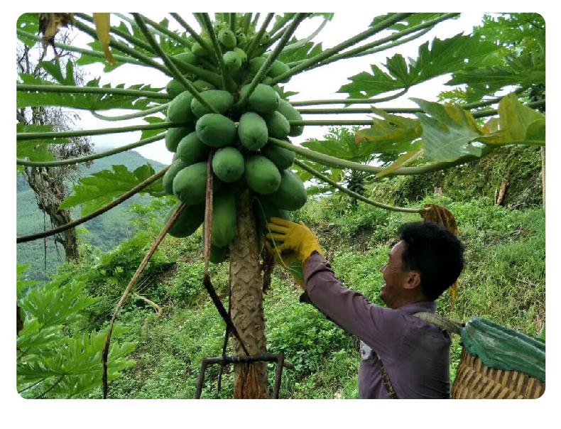 云南红心牛奶木瓜 9斤 图4