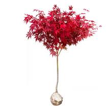 红枫树苗日本红舞姬美国红枫庭院道路绿化室