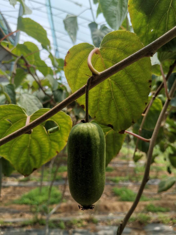 丹东软枣猕猴桃鲜果新鲜水果奇异莓奇异果软枣子狗枣子圆枣子顺丰