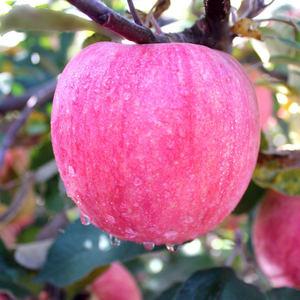 【顺丰包邮!】天然有机红富士苹果净重5斤