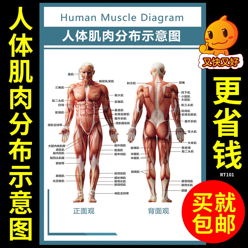 Usd 704 Human Muscle Distribution Diagram Human Muscle Structure
