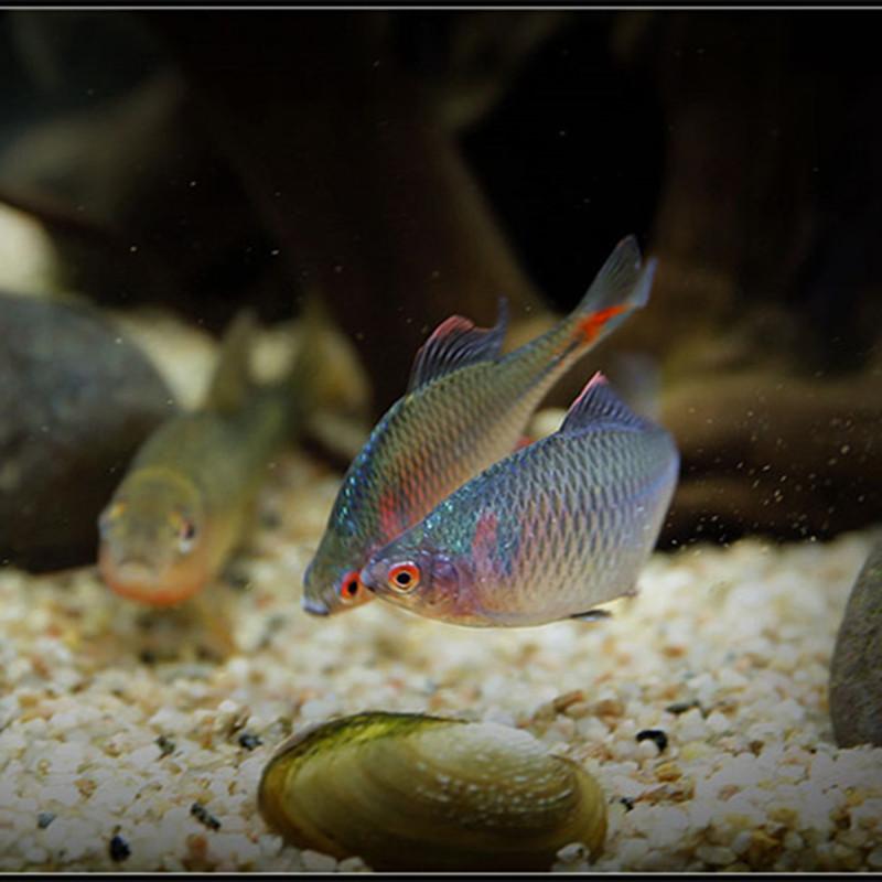 鳑鲏鱼原生鱼旁皮鱼观赏鱼淡水鱼冷水鱼活体鱼苗小鱼金鱼除藻鱼详细照片