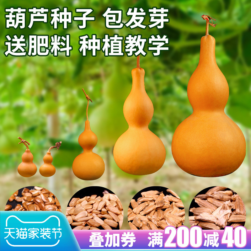gourd away a big giant, gold in the grass seeds collectables - autograph seeds the mini hand twist small gourd seed