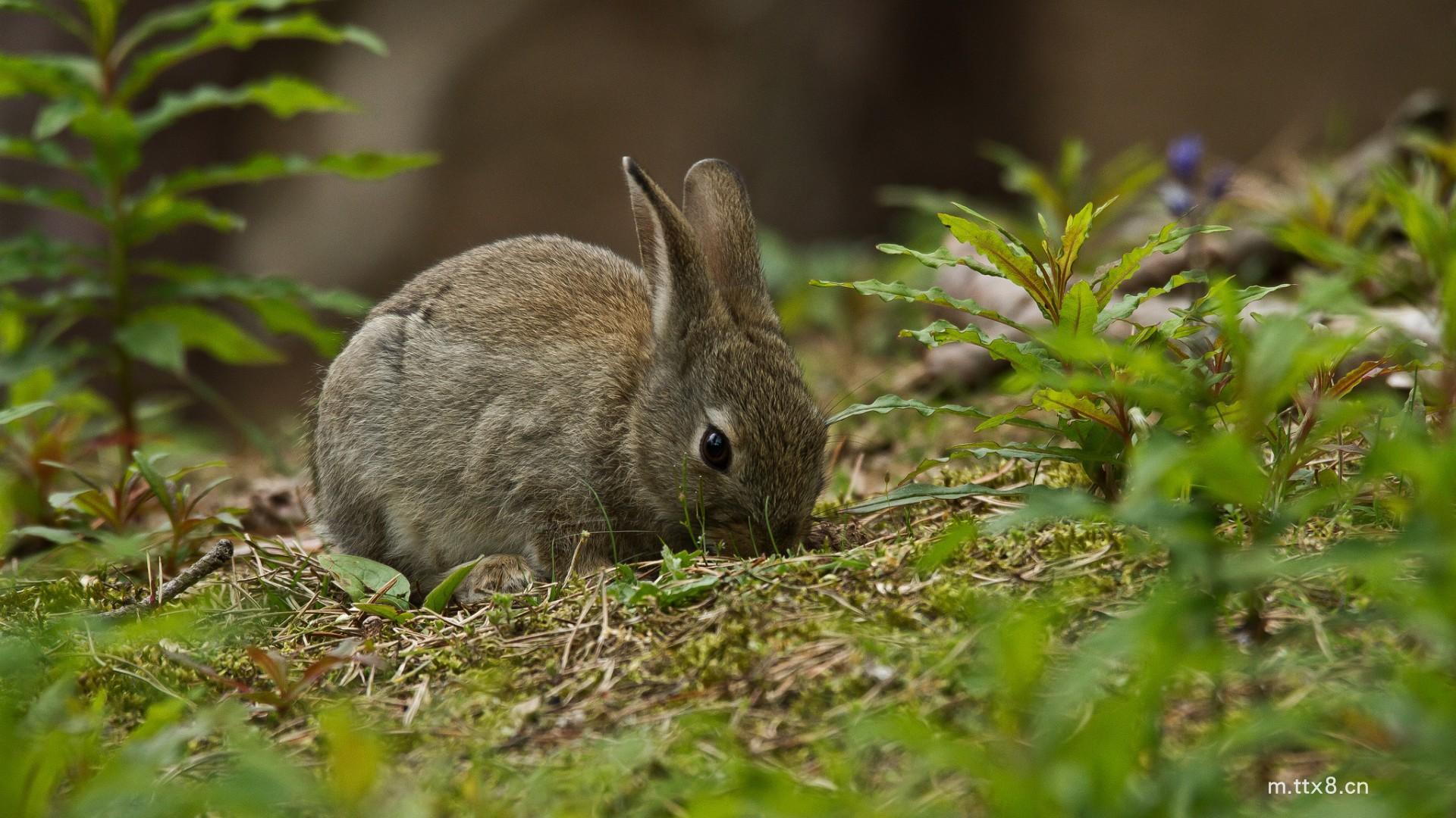 草地,灰色兔子,绿色植物,可爱兔子壁纸(1920x1080).jpg