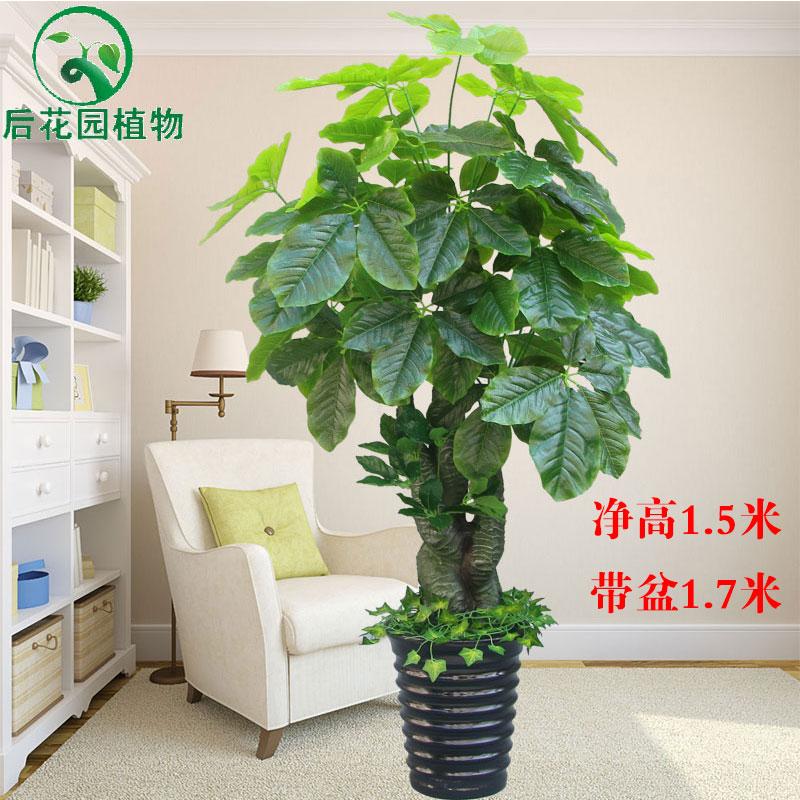 Цвет: Капок дерево (с горшком кормить травой)