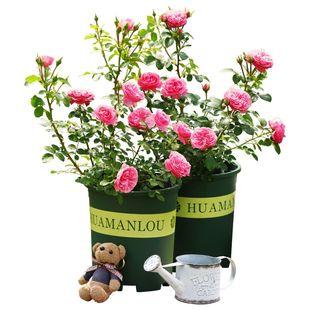 【千与千寻】3棵5年蔷薇花苗盆栽