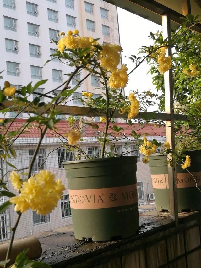 我国十大香花,家里养一盆,满室生香66