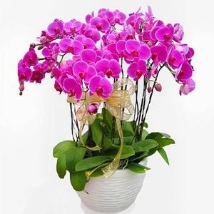 蝴蝶兰红掌盆栽鲜花速递杭州同城年宵花花卉上海北京广州深圳送花