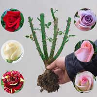 【诗谣雅院】蔷薇牡丹月季带苞花苗券后1.9元包邮