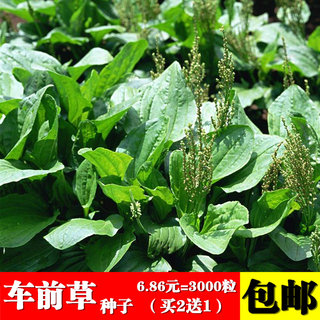 Edible plantain seeds Ping plantain wild herbs Four seasons sowing Chinese medicinal materials Wheel vegetables Wild plantain seeds