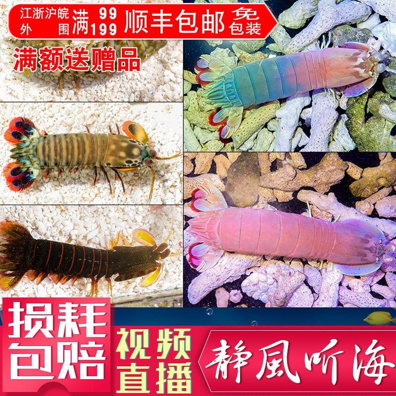 Multicolored mantis shrimp skin shrimp Sea Watch shrimp pet shrimp