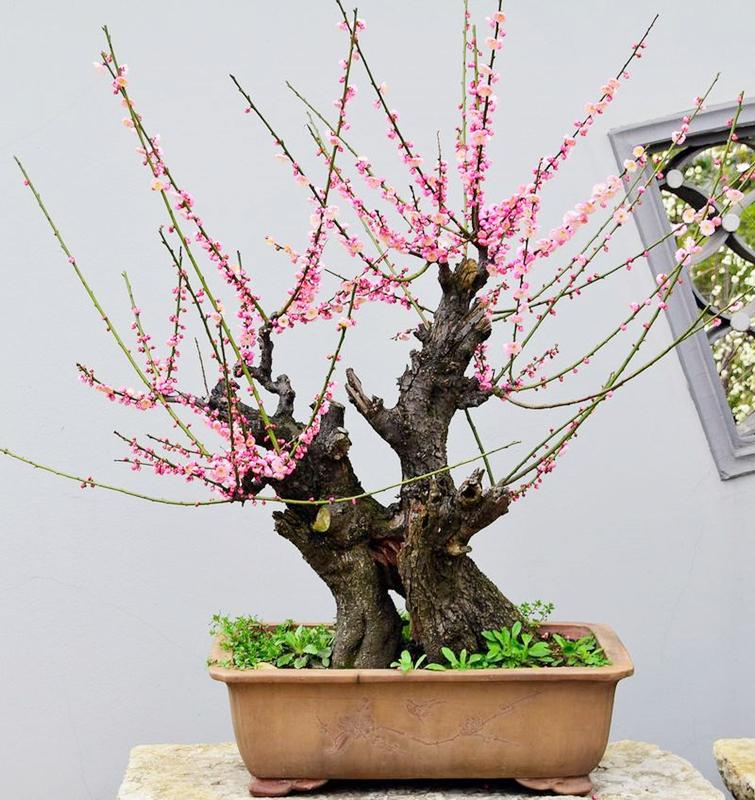 正宗老桩梅花树苗盆栽盆景红梅江宫粉梅花卉植物庭院绿植当年开花