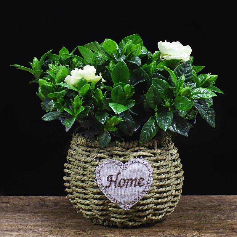 栀子花盆栽植物四季开花办公室内带花苞花卉客厅吸甲醛桌面小绿植