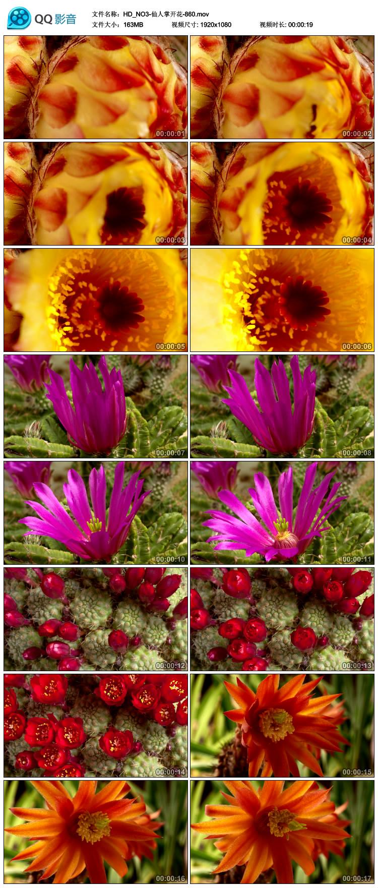 仙人掌开花 花朵开放快速生长 高清实拍视频素材