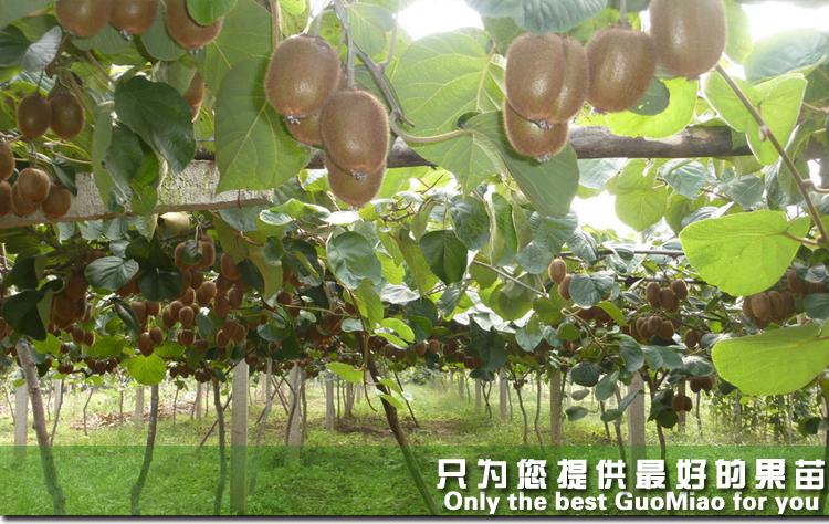 广州隆基果树苗合作社