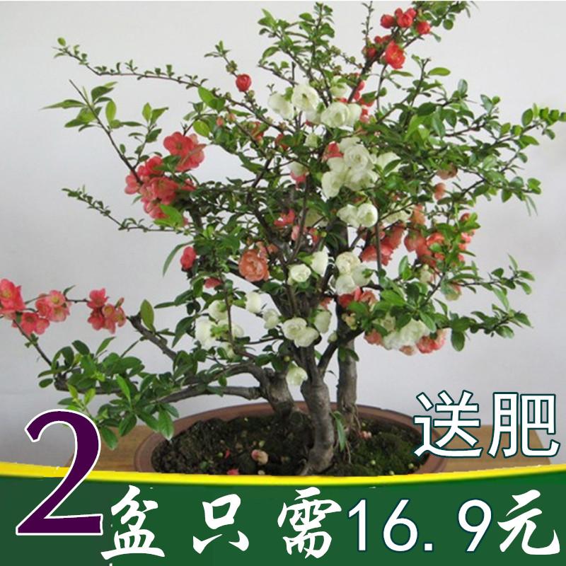 重瓣日本海棠花卉盆栽树苗盆景老桩室内观花植物西府垂丝四季开花