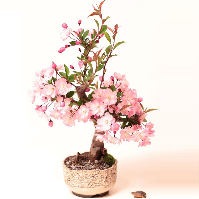 西府/垂丝 沂州海棠 微型盆景素材苗盆栽海棠花苗小老桩当年开花