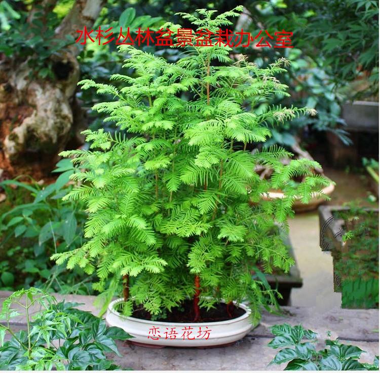 盆栽绿植水杉植物办公室盆景养眼小植物木本久生丛林微型盆景