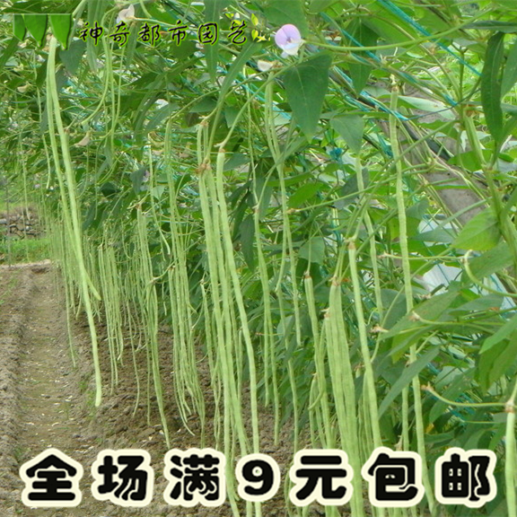 Extra bean seeds climbing rattan cowpea seed frame long bean Farm Spring seed vegetable seed lone seed Four Seasons