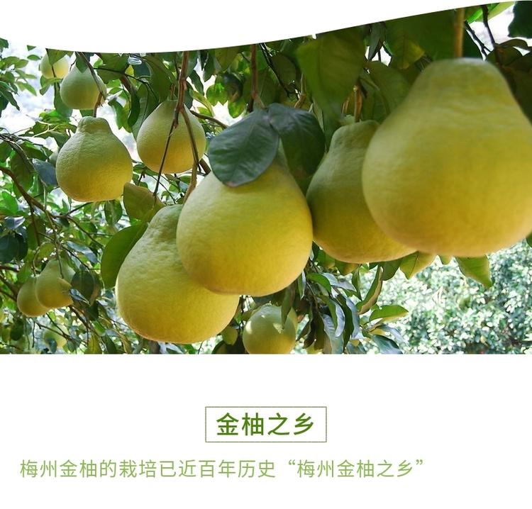 梅顺沙田柚