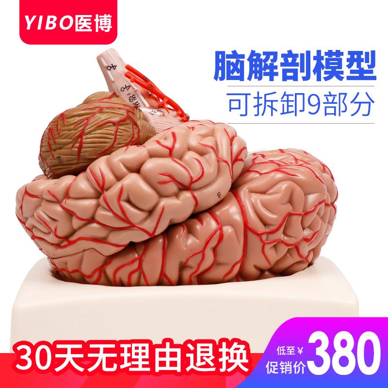 大脑结构人体医用脑人体模型脑模型脑血管动脉模型大脑解刨模型