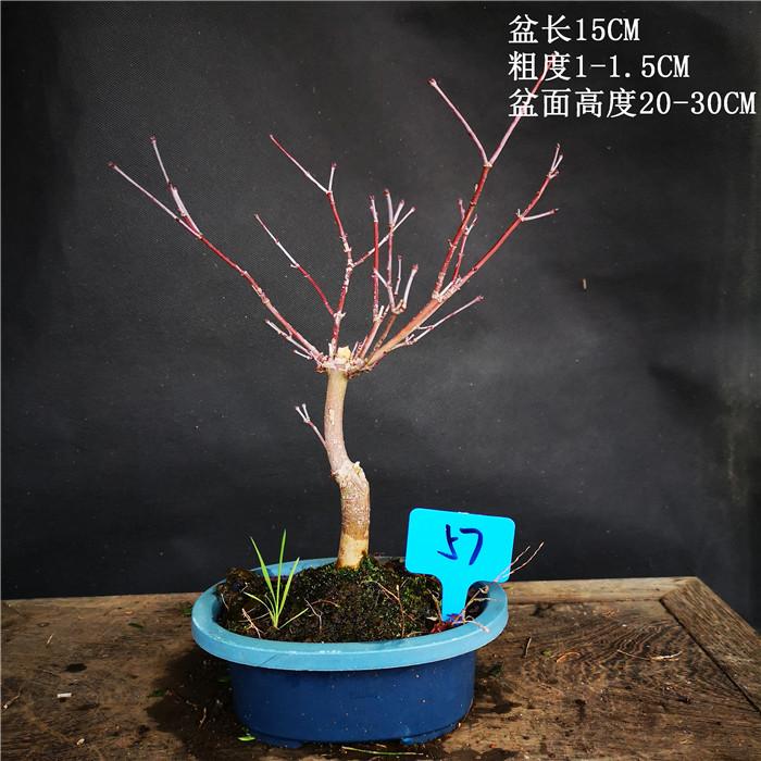小品型日本红枫出猩猩红枫红叶系枫树类盆景盆栽室内外绿植