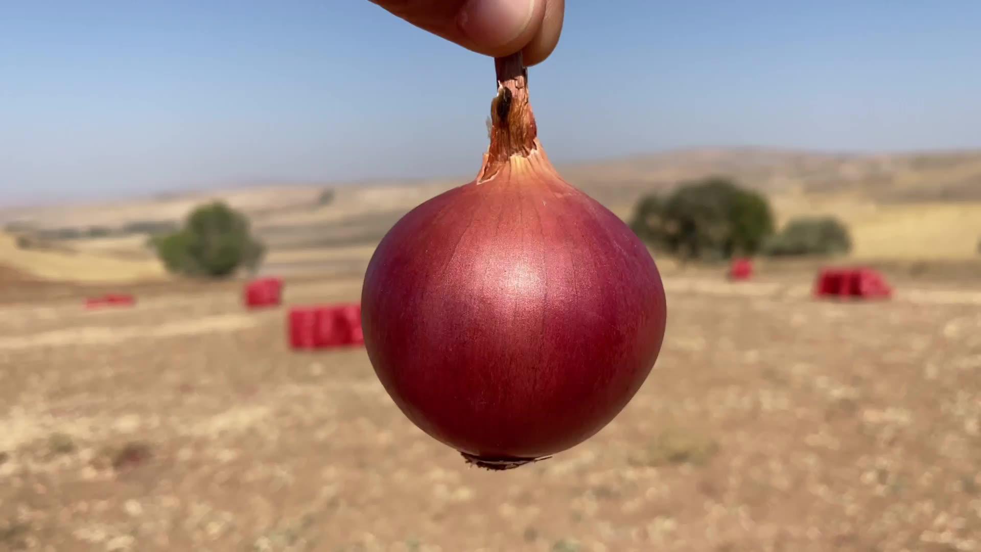 Fresh Red Onion Turkey 50mm size fresh red Turkish onions