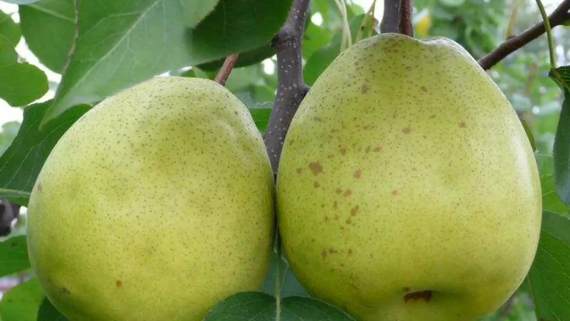 2019 Chinese Ya/Early Su Pear on sale with best price