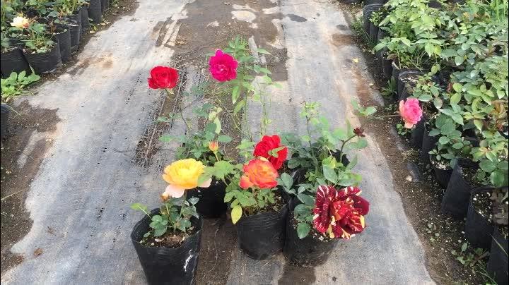 欧洲月季盆栽 莎士比亚 欧月扦插苗带盆 藤本月季重瓣大花