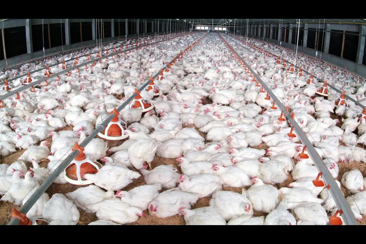 मुर्गीपालन शेड चिकन घर के लिए बिक्री