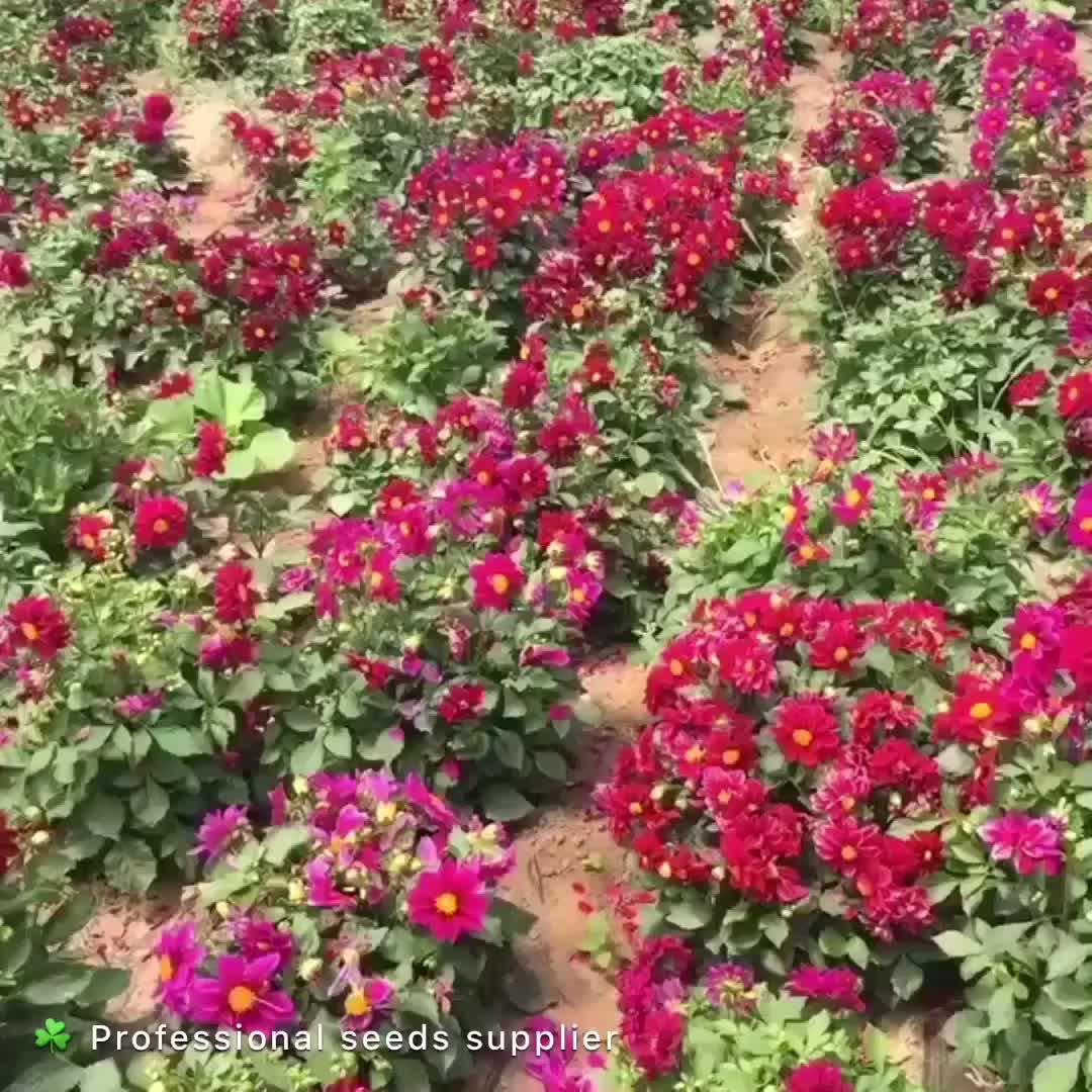 2018 Newest Flowers Seeds For Sale Garden Flower Seeds Dahlia