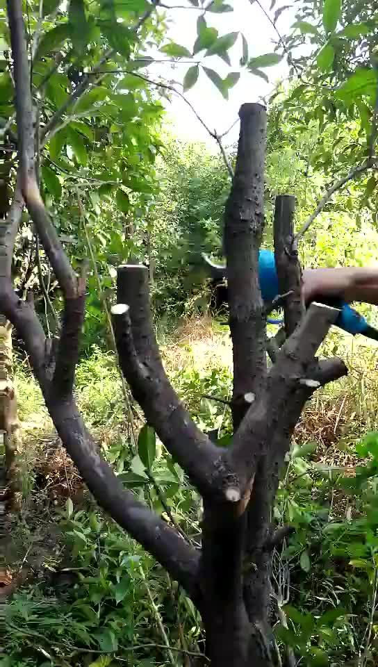 Elektrikli ağaç pruner winland ve testere cırcır pruner budama makası