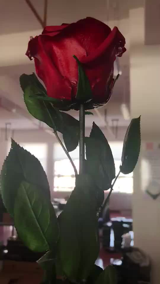 2018 Valentine's day gift kunming wholesale Grade A real natural preserved roses with stem